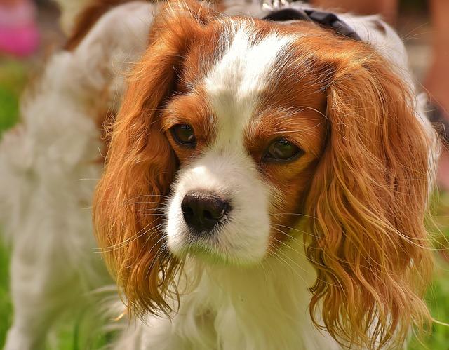 האם כלבי קינג צ'ארלס נוחים לאילוף
